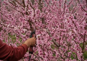 pruning pink apple blossoms